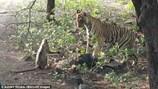 Video: Khỉ liều mạng chống trả, ra đòn tát hổ dữ khi bị dồn đến đường cùng