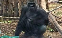 Đáng sợ khoảnh khắc khỉ đột nổi điên đập vỡ kính trốn khỏi vườn thú