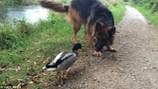 Video: Vịt trời hung hăng chặn đường, tấn công chó béc-giê