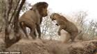 Hỗn chiến kinh hoàng giữa sư tử và báo hoa mai - những con thú săn mồi đáng sợ bậc nhất