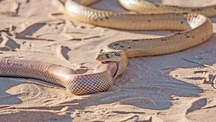 Đáng sợ cảnh rắn hổ mang đói nuốt chửng đồng loại
