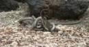Rùng mình bầy rắn độc đói mồi săn đuổi, cuộn chặt kỳ nhông