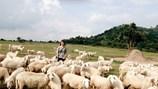 Lạc vào trời Tây với đồng cừu Suối Nghệ