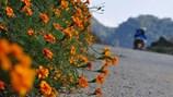 Thương nhớ mùa hoa cúc dại Hà Giang