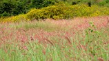 Đồi cỏ hồng phơi phới trong gió đông đẹp như mơ ở Lâm Đồng