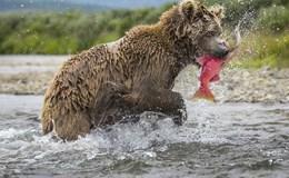 Ngoạn mục cảnh gấu mẹ săn cá hồi về cho đàn con