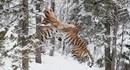 Cuộc đại chiến sinh tử của cặp hổ quý Siberia trong tuyết trắng