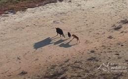 Chó hoang rượt đuổi kịch tính, giết chết lợn rừng