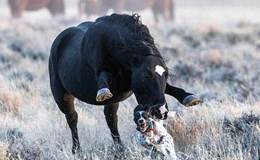 Thót tim giây phút ngựa hoang nổi giận truy sát, dẫm đạp chó săn