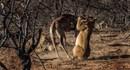 Hươu cao cổ tuyệt vọng chống trả sư tử hung hãn trước khi gục ngã