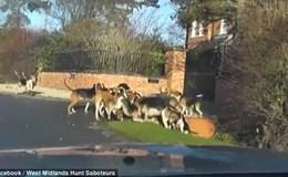 Sốc cảnh cả đàn chó săn bao vây tấn công cáo đến chết