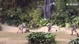 Hoảng hồn ngựa vằn ngoạm tay, kéo lê nhân viên vườn thú