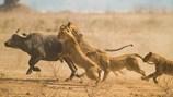 Bị cả đàn sư tử rượt đuổi, trâu rừng chết thảm