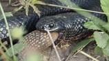 Đáng sợ cuộc đại chiến không cân sức giữa 2 con rắn cực độc