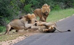 Đáng sợ cảnh 3 con sư tử đực hung dữ đại chiến giữa đường