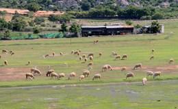 Thảo nguyên xanh đầy thơ mộng ở Ninh Thuận