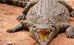 Dại dột xoa mõm cá sấu khổng lồ, người đàn ông trả giá đắt