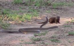 Cuộc chiến sống còn giữa chồn Mongoose với rắn độc dài nhất châu Phi