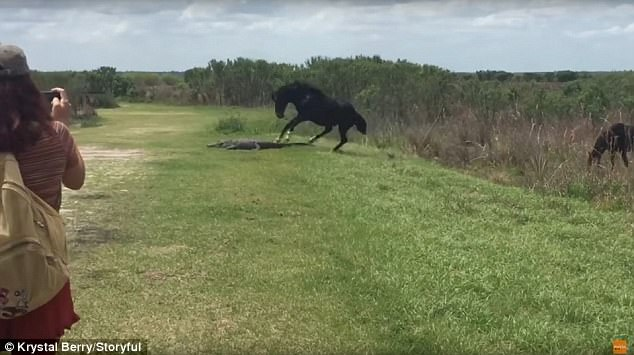 Ngựa suýt mất chân vì vô cớ lao tới tấn công cá sấu