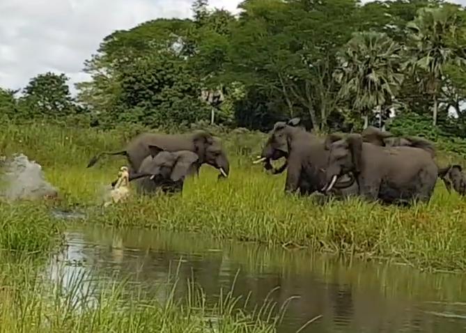 Kịch tính cảnh cá sấu liều lĩnh tấn công đàn voi rừng