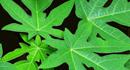 Công dụng điều trị bệnh không thể bỏ qua của lá đu đủ