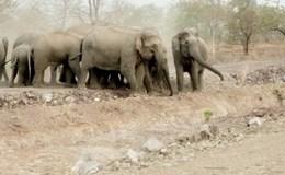 Hốt hoảng vì đàn voi rừng về sát vách nhà dân