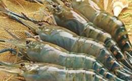 4 tỉnh trọng điểm tôm nguyên liệu ở ĐBSCL cam kết không bơm chích tạp chất