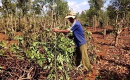 Người dân ồ ạt chặt bỏ cây càphê, Tây Nguyên có nguy cơ mất cân đối cây trồng