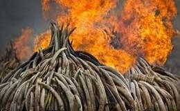 """Chuẩn bị """"hóa tro"""" trên 70kg sừng tê giác và 2 tấn ngà voi"""