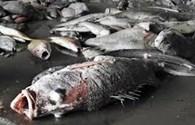 Chỉ còn 1/18 mẫu cá biển miền Trung vượt ngưỡng an toàn về kim loại nặng