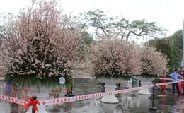 Triển lãm hoa anh đào tại Hải Phòng: Trời mưa nên ít người đến tham quan, thưởng thức hoa