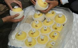 Táo Aomori của Nhật chính thức được Intimex nhập khẩu về Việt Nam