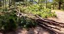 Hàng loạt cây thông bị chặt cành gây hủy hoại rừng thông