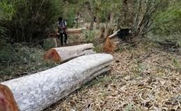 """Vụ """"Lâm tặc phá rừng tại Ban quản lí rừng phòng hộ Ia Grai"""": Huyện chỉ đạo khởi tố"""