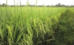 Đưa ra thị trường 2.000 tấn gạo tươi sạch