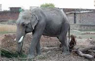 Cuộc giải cứu bất thành chú voi bị hành hạ để đi ăn xin