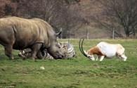 Linh dương mẹ đối đầu với tê giác để bảo vệ con