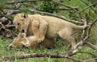 Khoảnh khắc ngộ nghĩnh của những chú sư tử con tinh nghịch