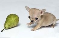Vẻ ngoài đáng yêu của con Chihuahua nhỏ nhất thế giới