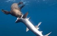 Rùng mình cảnh tượng hải cẩu xé xác, ngấu nghiến ăn thịt cá mập