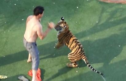 Hãi hùng nhân viên vườn thú bị hổ vồ chết