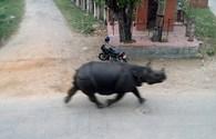 Hãi hùng tê giác lao điên cuồng vào phố húc chết một phụ nữ