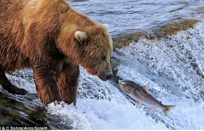 Ngoạn mục cảnh màn săn cá hồi trong dòng nước xiết của gấu nâu