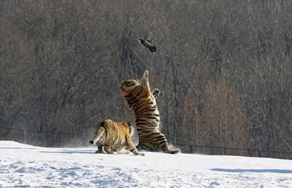 Hai hổ đói ngã lăn lộn vì mải bắt chim