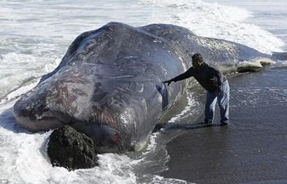 """Rùng mình phát hiện """"Quái vật biển"""" dài 15m bị mắc kẹt"""