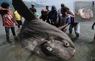 """Sửng sốt """"quái vật biển"""" khổng lồ nặng nhất thế giới dạt vào bờ"""