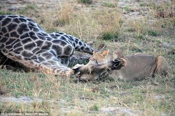 Rùng mình với màn săn hươu cao cổ dai dẳng, quyết liệt của con sư tử đói