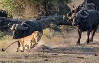 Sư tử chạy bán sống bán chết tránh đòn húc chí mạng của đàn trâu rừng hung dữ
