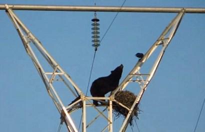 """Kinh hãi gấu đói """"phi thân"""" lên cột điện để cướp con của quạ đen"""