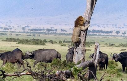 Kinh ngạc cảnh sư tử sợ hãi cuống cuồng leo lên cây chạy trốn bầy trâu rừng hung dữ